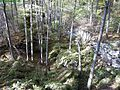 Bear-rocks-wv ForestWander.JPG