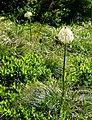 Beargrass (06f6522f936c4557bdc64d05e0ea8db6).JPG