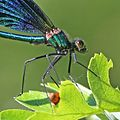 Beautiful demoiselle (Calopteryx virgo) male close up.jpg