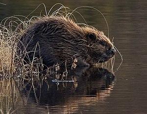 A European Beaver