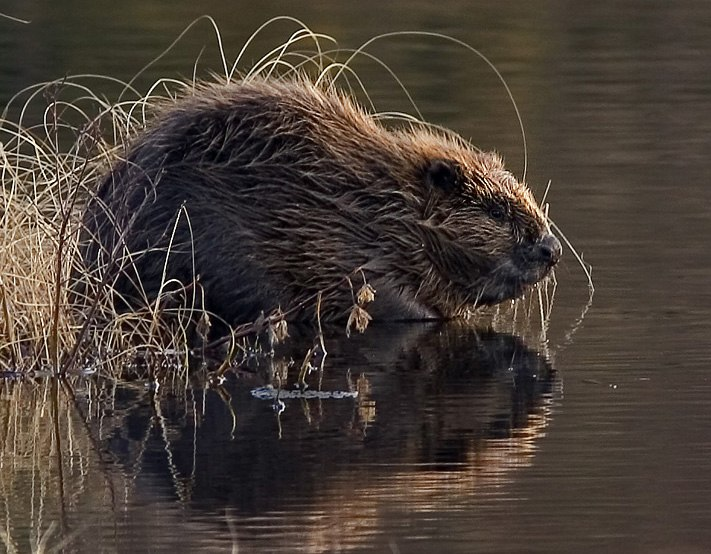Beaver pho34
