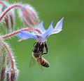 Bee - 蜂(はち) (7399077426).jpg