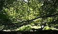 Beech Leaves - geograph.org.uk - 205081.jpg