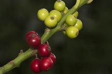 Beeren der Stechpalme.png