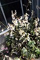 Begonia Hocking Shockwave 5zz.jpg