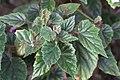 Begonia metallica GotBot 2015 003.jpg