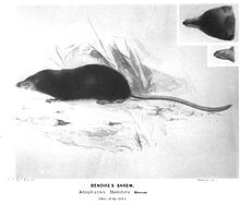 Drawings of a slender rodent with a long nose and tail