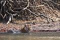 Bengal Tiger sitting in the water at Sundarban.jpg