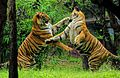 Bengal tiger fight.jpg