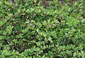 Berberis thunbergii (bud s2).jpg