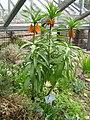 Berne Botanic garden Tulipa korshynskyi.jpg