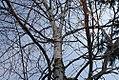 Betula maximowicziana 5zz.jpg
