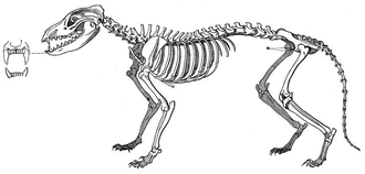 Analysis of the skeleton suggests that, when hunting, the thylacine relied on stamina rather than speed in the chase. Beutelwolfskelett brehm.png