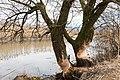 Biberbissspuren in Naturschutzgebiet Rheindelta.jpg