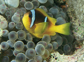 Rotmeer-Anemonenfisch (Amphiprion bicinctus) in einer Blasenanemone (Entacmaea quadricolor)