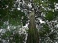 Big Tree (Schefflera ?) (18296954961).jpg