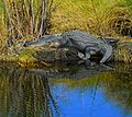 Big boy near the Audubon Lookout at Lake Woodruff - Flickr - Andrea Westmoreland.jpg