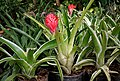 Billbergia pyramidalis in Hyderabad Nursery W2 IMG 0428.jpg