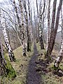 Birch on the embankment - March 2013 - panoramio.jpg