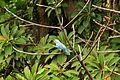 Bird thraupis episcopus.jpg