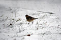 Bird walking on snow.jpg