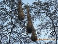 Birds nests hanging in the tree along the way to Angelopolis, Antioquia.jpg