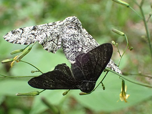 A black-bodied and white-bodied peppered moth. Biston betularia couple.JPG