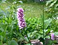 Bistorta-officinale-flower-head.JPG