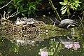 Blässhühner (Fulica atra) im Nest.jpg