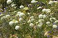 Blütenstand Karotte.jpg
