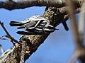 Black-and-white Warbler (documentation photos) (46295801422).jpg