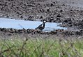 Black-bellied Plover (documentation) (34661542972).jpg