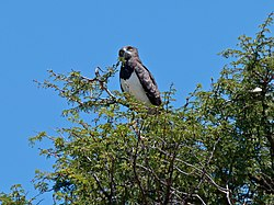Black-chested Snake-eagle (Circaetus pectoralis) (6883787148).jpg