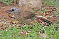 Black-faced Babbler.jpg