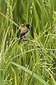 Black-faced Munia - Sulawesi MG 5777 (22799479470).jpg