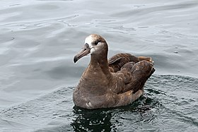 Black-footed Albatross - Flickr - GregTheBusker (1).jpg