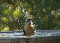 Black-headed Grosbeak Bathing (13911597630).jpg
