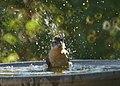 Black-headed Grosbeak Bathing (13911597630).jpg