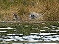 Black-winged Stilt (Himantopus himantopus) (30517522061).jpg