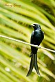 Black Drongo (6809533918).jpg
