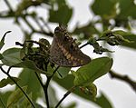 Black Rajah (Charaxes solon) on Cassia fistula (Amaltas) at Hyderabad, AP W IMG 7167.jpg