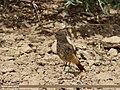 Black Redstart (Phoenicurus ochruros) (16574380095).jpg