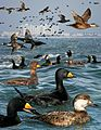 Black Scoter From The Crossley ID Guide Eastern Birds.jpg