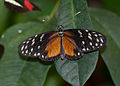 Black and Orange Butterfly (5623940480).jpg