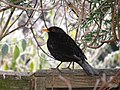 Blackbird on my fence - panoramio.jpg