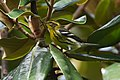 Blackburnian Warbler (29597826685).jpg