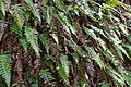 Blechnum vulcanicum (Wedge water Fern) near D'Anton Falls - Flickr - brewbooks (2).jpg