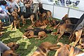Bloodhounds at the Heathfield Show - geograph.org.uk - 1479365.jpg