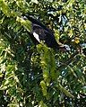 Blue-throated Piping Guan (Pipile cumanensis) feeding on Combretum flowers (31602265391).jpg