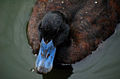 Blue Billed Duck Top View.jpg